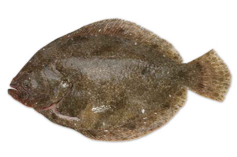 Fresh fish from wing of st mawes cornish fish merchants for Turbot fish price