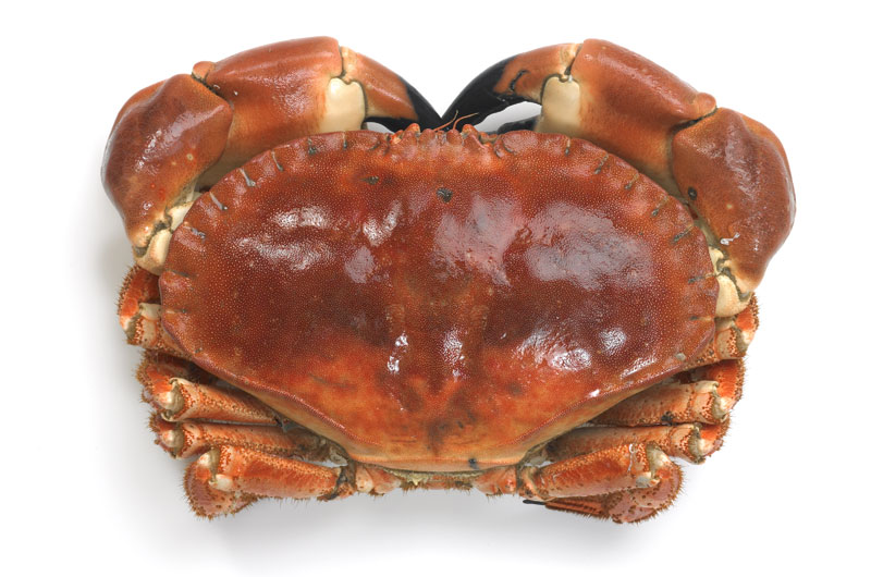 Cornish crab